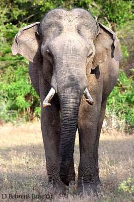 Eléphant d'Asie :...